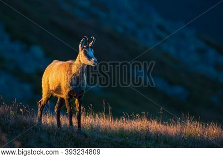Tatra Chamois Standing On Hill In Summer Evening.