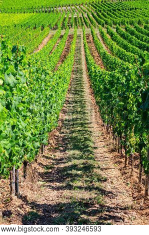 Grapevine Rows In Vineyards Green Fields Landscape With Grape Trellis On Hills In River Rhine Valley
