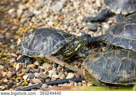 Trachemys Scripta Turtle With Yellow Belly And Red Ears. Wild Turtle In Nature On The Beach, Flock O