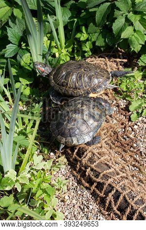 Two Trachemys Scripta Turtle On The River Bank, Wild Animal In Nature, Vertical Photo