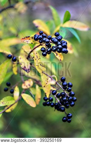 Branch With Common Privet Berries In Autumn. Close Up.