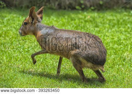 Mari, Patagonian Hares, Patagonian Guinea Pigs