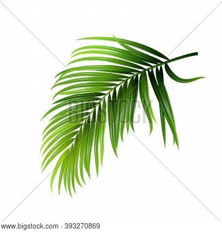Coconut Tropical Palm Green Leaves Branch Vector. Jungle Forest Coconut Tree Botanical Vegetation St