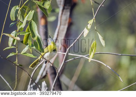 Yellow Breasted Apalis Male Standing In Shrub In Kruger National Park, South Africa; Specie Apalis F