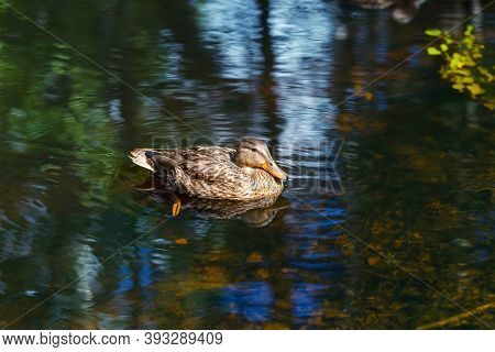 The Female Mallard Duck On The Water In The Wild. Brown Duck Swimming On The Lake. Waterfowl Bird Cl