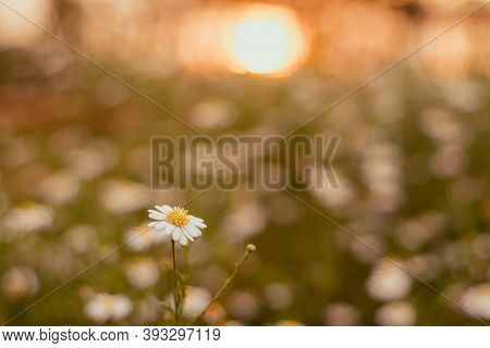 Soft Focus  Grass Flower ,close Up  A Little Wild Flowers Grass In Sunrise And Sunset Background War