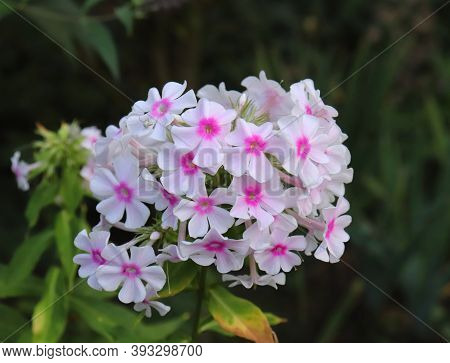 Phlox Flowers Blooming Close Up. Photo On Green Garden Background In The Garden. Shot Of An Phlox Fl
