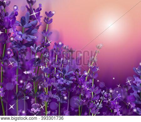 Summer Sunset Over A Violet Lavender Flower. Fragrant, Blooming Violet Lavender For Perfumery, Healt