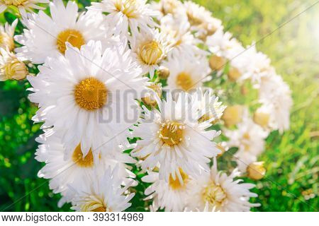 Summer Bright Flowers Growing On The Ground Lit By The Sun. White Beautiful Bush Chrysanthemums On A