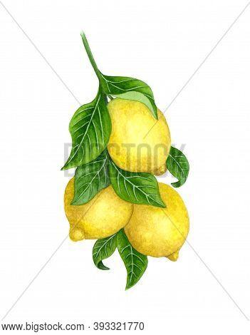 Lemons On A Branch. Watercolor Lemon Tree. Illustration Of Yellow Lemons On The Branch Of A Lemon Tr