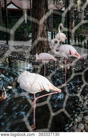 Wild Pink And White Flamingo In The Zoo Kept Prisoners In A Metal Wire Cage. Wild Animals In Captivi