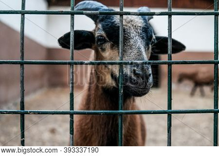 Closeup View: Brown Goat With Horns Looking Out From A Cage. Domestic Animal In Captivity. Unhappy H