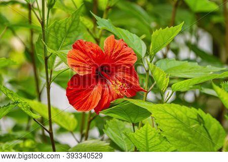 Hibiscus, Genus Of Flowering Plants In The Mallow Family, Malvaceae
