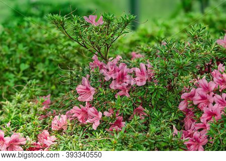Image Of Blooming Rhododendron Flowers In The Forest
