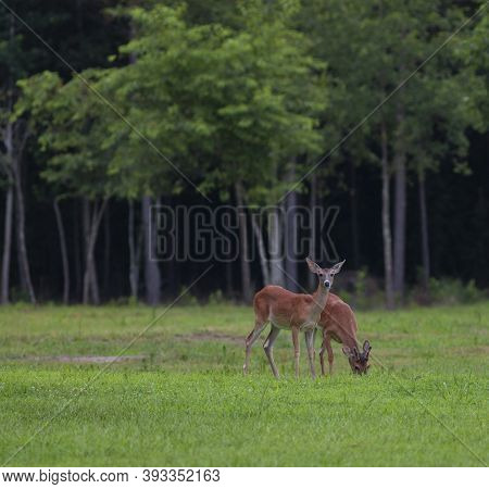 Whitetail Buck And Doe Grazing On A Green Field In North Carolina