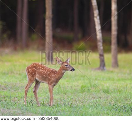 Whitetail Deer Fawn Alone Near A North Carolina Forest