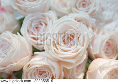 Blurred A Group Of Sweet Pink Roses Blossom With Softly Style For Background Backdrop