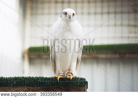 Sitting White Hawk Bird Of Prey, Falconry And Wild Bird Breeding Concept.