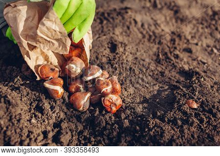 Tulip Bulbs Fall Planting. Woman Gardener Gets Bulbs Out Of Paper Bag Ready To Put In Soil. Autumn G