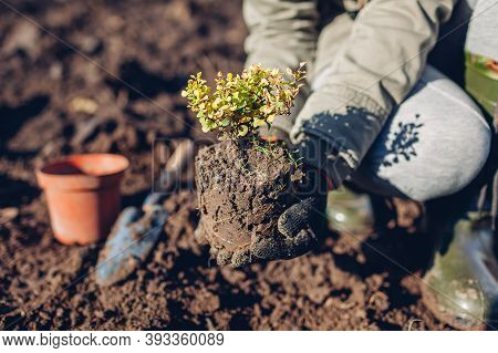 Gardener Transplanting Barberry Bush From Container Into Soil. Autumn Gardening Work. Thunbergs Yell