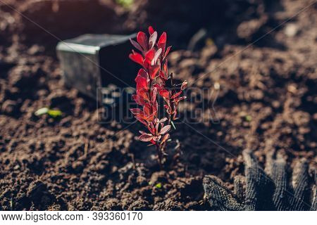 Transplanting Barberry Bush From Container Into Soil. Autumn Gardening Work. Thunbergs Barberry
