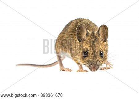 Afraid Wood Mouse (apodemus Sylvaticus) Isolated On White Background. This Cute Looking Mouse Is Fou