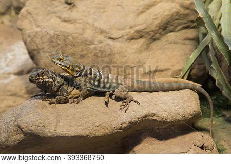 Common Chuckwalla (sauromalus Ater) And Baja Blue Rock Lizard (petrosaurus Thalassinus).