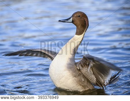 Beautiful Northern Pintail Male Duck Swimming In The Lake. Grey And Brown Bird.  This Bird Is Flappi
