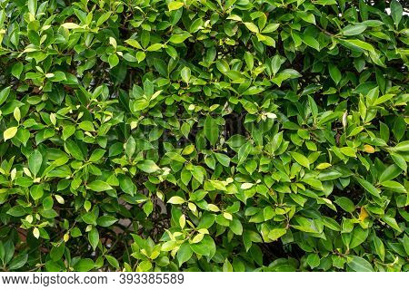 Green Fresh Leaves For  Background In Nature