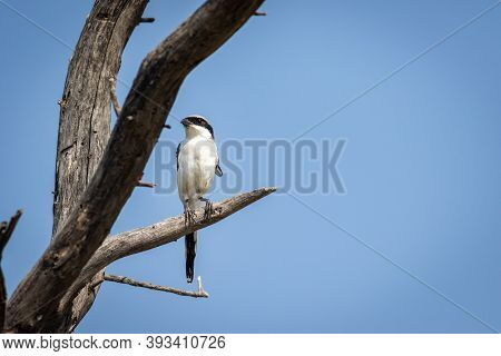 Southern Or Iberian Grey Shrike Portrait Perched On Dead Tree With Natural Sky Background At Forest