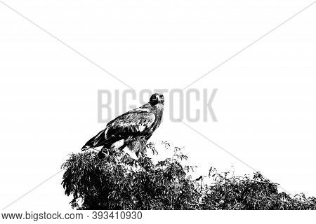 Steppe Eagle Or Aquila Nipalensis Portrait In Black And White Perched On Tree At Jorbeer Conservatio