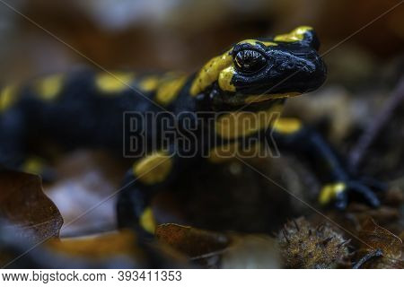 Detailed View Of A Spotted Salamander In Autumn Leaves