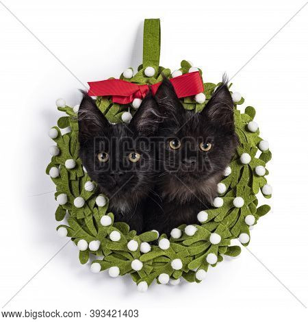 Duo Of 2 Black Maine Coon Cat Kittens Sitting With Their Heads Through A Green Felt Christmas Wrath.