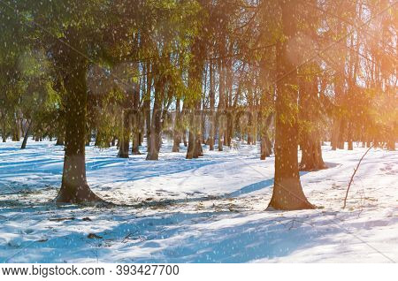 Winter forest landscape with falling snow - sunny forest winter park with snowfall over winter forest trees. Winter forest scene with snowfall, winter forest background, winter forest landscape