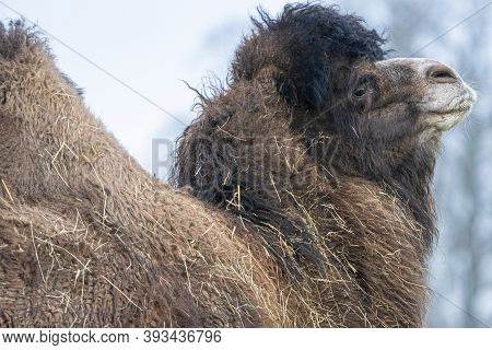 A Close Up Of A Bactrian Camel Covered In Straw, Head, Shoulders And Hump