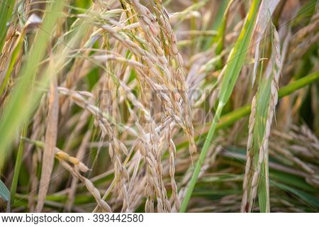 Paddy Crop In India. India Is One Of The Worlds Largest Producers Of Rice, Including White Rice And