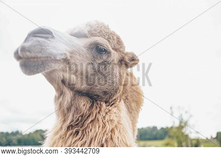 Close Up Of Funny Bactrian Camel In Karelia Zoo. Hairy Camel In A Pen With Long Light Brown Fur Wint