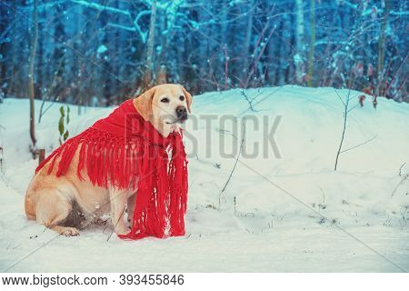 Portrait Of A Dog Wrapped In A Red Shawl Sitting Outdoors In Snowy Winter Forest
