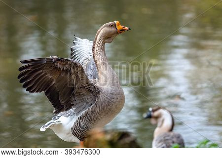 A Large Domestic Swan Goose Flapping Its Wings By A Lake, Another Goose Behind. Water Reflecting Blu