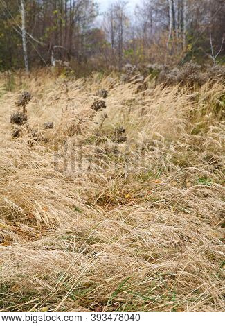 Meadow Grasses In Autumn Forest In October