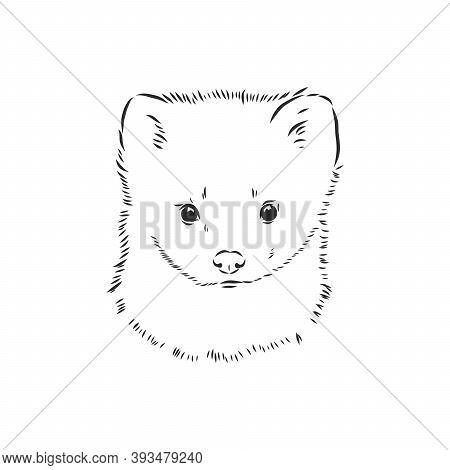 Sable Or Martes Zibellina, Illustration Of Sable. Sable Animal Vector Sketch Illustration