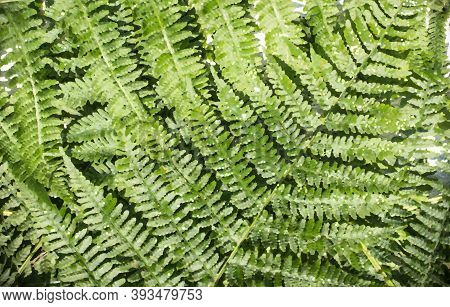 Vegetable Background Of Fern Leaves, Processed With Filters In Photoshop. Horizontal Orientation