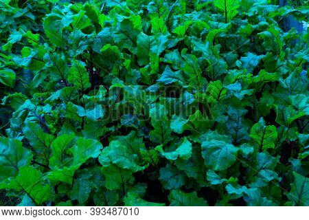Dark Blue Leaves Background. Beetroot Bright Leaf. A Bed Of Vegetables In The Garden. Foliage Of Bee