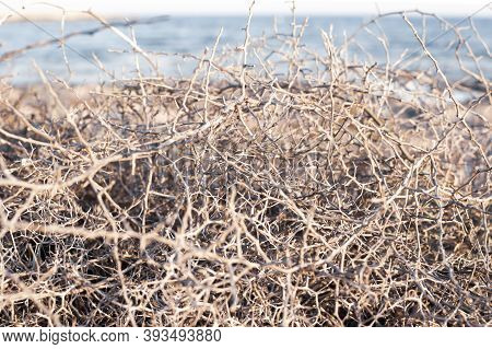 Closeup Leafless Barren Thorny Bush With Tangled Branches, Dry Dead Plant With Thorns On Branches In