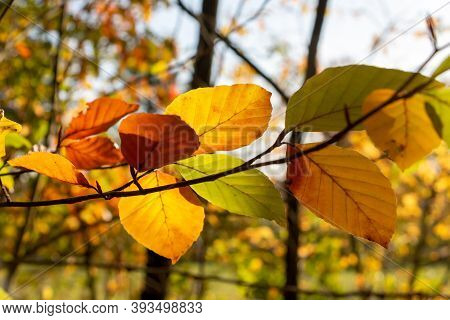 Beautifal Autumn Leaves With Golden An Orange Colors On A Beech Branch In The Forest