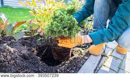 Planting  Picea Glauca Alberta Globe In The Garden. Conifers In Landscape Design. Gardening Work On