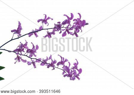 A Bouquet Of Sweet Purple Thai Orchid Blossom On White Background With Copy Space.
