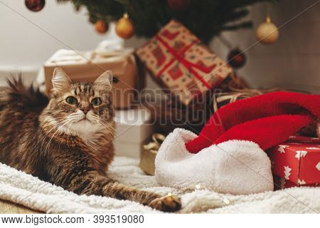 Adorable Maine Coon Cat Sitting At Wrapped Gift Boxes And Santa Hat Under Christmas Tree