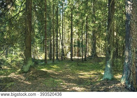 Path In The Coniferous Forest, Conifers