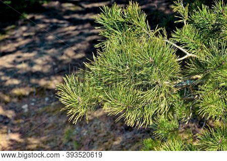 Coniferous Tree Branch, Pine Branch Close-up
